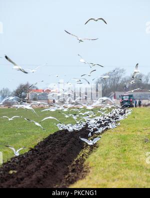 Common gulls feeding when field is plowed. Öland, Sweden. - Stock Photo