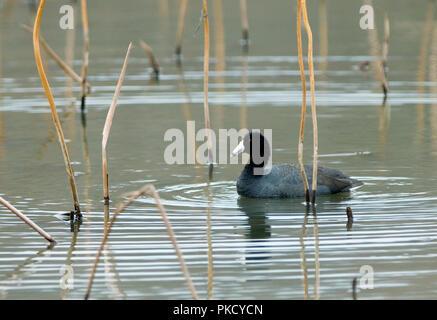 American Coot :: Fulica americana - Stock Photo