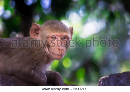 The Rhesus Macaque - Stock Photo
