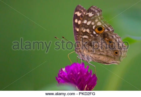 The Peacock Pansy Butterfly - Stock Photo