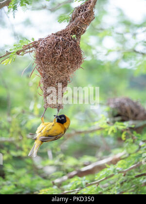 A male Lesser Masked Weaver bird building a nest in South Africa.