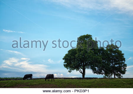 silhouetted cows grazing on hillside with blue cloudy sky and trees - Stock Photo