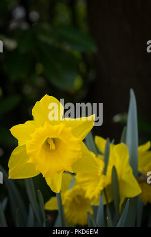Netherlands,Lisse,Europe, a yellow flower - Stock Photo