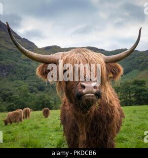 Scottish Highland cattle, Ben Nevis, Scottish Highlands, Scotland, UK - Stock Photo