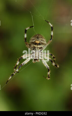 Common garden spider spinning its web, Western Australia - Stock Photo