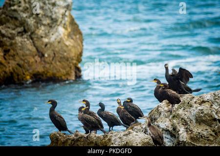 EUROPEAN SHAG OR COMMON SHAG, Phalacrocorax aristotelis in BLACK SEA, BULGARIA - Stock Photo