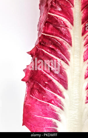 One leaf of a red salad on a white background ,the vegetable  is bright and wet ,beautiful leaf vein , white and red color contrast ,abstract composit - Stock Photo
