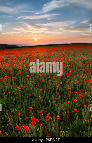 Sunset over Poppies, Porth Joke, West Pentire, Cornwall, UK - Stock Photo