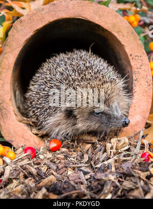Hedgehog, wild, native, European hedgehog in clay pipe, facing right, with orange and red berries.  Portrait.  Scientific name: Erinaceus europaeus. - Stock Photo