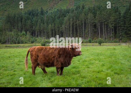 Scottish Highland cattle, Ben Nevis, Scottish Highlands, Scotland, UK - Stock Photo