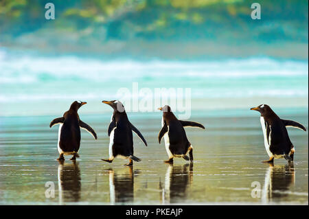 Gentoo penguins (Pygoscelis papua) walking on the wet sand, The Neck; Saunder's Island, Falkland Islands - Stock Photo