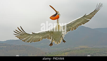 Dalmatian Pelican (Pelecanus crispus) flying with mouth open, Lake Kerkini; Greece - Stock Photo