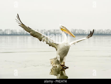 Dalmatian Pelican (Pelecanus crispus) standing on the shore with wings spread, Lake Kerkini; Greece - Stock Photo