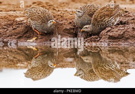 Three Natal spurfowl (Pternistis natalensis) drinking from the water's edge; Botswana - Stock Photo