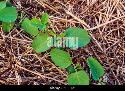 Agriculture - Closeup of early growth, double crop no-till soybeans growing in wheat stubble / Tennessee, USA. - Stock Photo