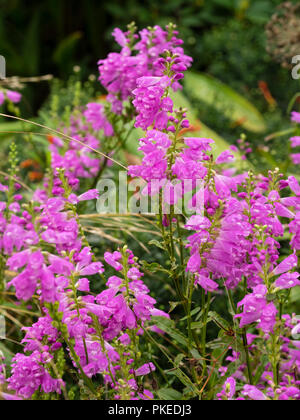 LAte summer pink flowers on upright stems of the hardy perennial obedient plant, Physostegia virginiana - Stock Photo