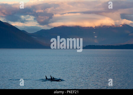 AG Pod of resident killer whales traveling in dramatic scenery and sunset conditions in Chatham strait Southeast Alaska - Stock Photo