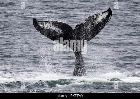 Humpback whale named Carina lifts its tail high into the air during a session of cooperative bubble net feeding in Chatham strait in southeast Alaska - Stock Photo