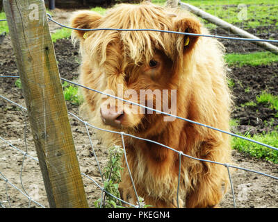 Baby highland cow found in Scotland.  Cute baby cattle on a Scotish farm. - Stock Photo