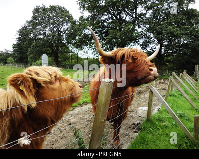 Highland cattle in the Scottish country side - Stock Photo