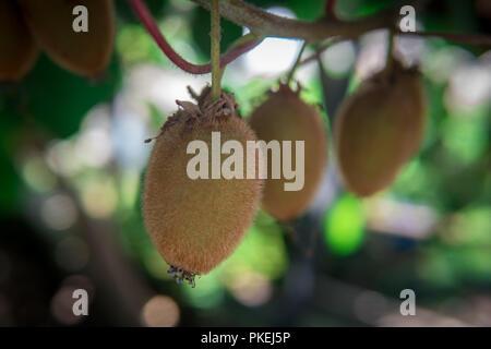 Kiwi fruit on the branch. Some Kiwi on a tree - Stock Photo