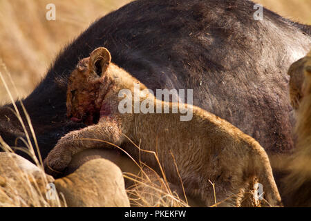 A lion cub joins the rest of the pride under the watchful eye of the male to enjoy a feast on a buffalo just killed. - Stock Photo