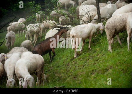 a flock of wild goats along the Colle delle Finestre mountain pass in Usseaux, in the Piedmont region (Italy, 16/06/2010) - Stock Photo