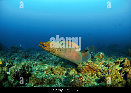 Panamic green moray eel (Gymnothorax castaneus), free-swimming, San Benedicto Island, Revillagigedo Islands, Socorro Islands - Stock Photo