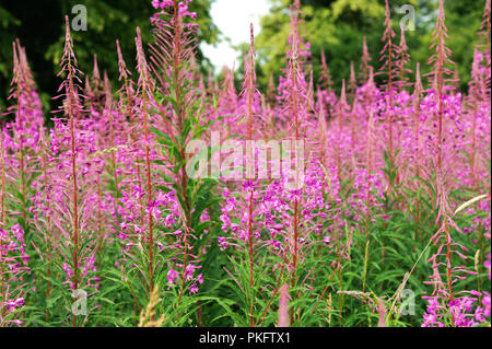 Blooming flowers of Willow-herb Ivan tea, fireweed, epilobium flower in a field - Stock Photo