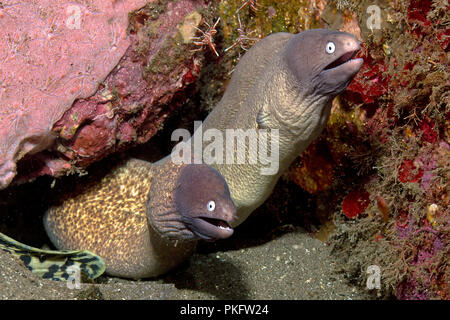 Two White-eyed Moray Eels (Siderea thyrsoidea), Dumaguete, Negros, Philippines - Stock Photo