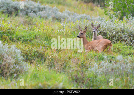 European roe deer (Capreolus capreolus), doe with fawn, Tyrol, Austria - Stock Photo