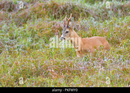 European roe deer (Capreolus capreolus), roebuck, Tyrol, Austria