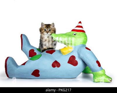 Fluffy British Longhair kitten sitting on big blue crocodile art piece, looking towards camera, isolated on white background - Stock Photo