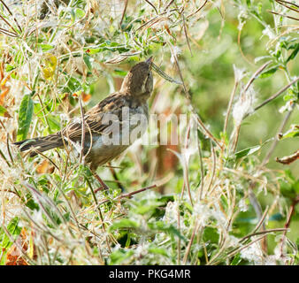 St Brides Major, Wales UK. 12th September 2018, House Sparrows feed on the ripening seed pods of Rosebay Willow Herb which are abundant after the prolonged Dry warm summer period. Credit: Phillip Thomas/Alamy Live News - Stock Photo