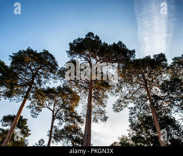 Conifers, pine trees & tree tops against a blue sky - Stock Photo