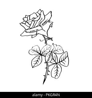 Rose contour line illustration. Barbed flower with leaves. Rose pencil drawing. Garden flower sketch. Postcard, logo, cover, tattoo floral design element. Vector isolated on white background - Stock Photo