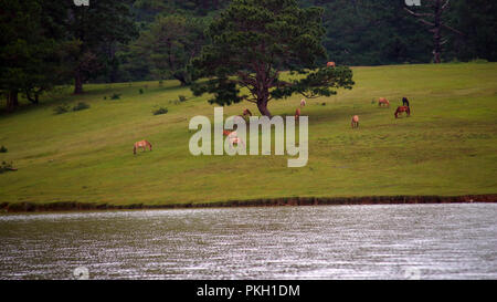 Wild horses live in the meadow steppes, in the Suoivang lake, Lam Dong Province, Vietnam. Not yet thoroughbred, wild horses have habits and living on - Stock Photo