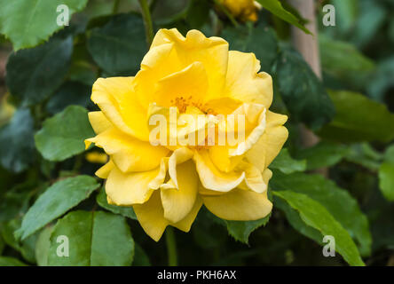 Single golden yellow flower head of the Standard Tree Rose 'Precious Gold' (Rosa floribunda 'Precious Gold') flowering in Autumn in the UK. - Stock Photo