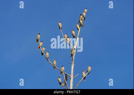 A flock of Cedar-waxwing birds perched in a dead tree against a blue sky background in rural Alberta Canada. - Stock Photo
