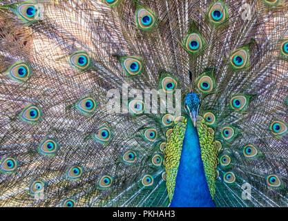 A Peacock (Pavo cristatus) on Lokrum Island, Croatia, Europe - Stock Photo