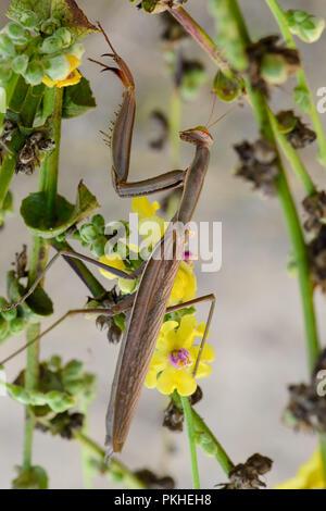 Big female brown religious mantis on green leaf. Sardinia, autumn. - Stock Photo