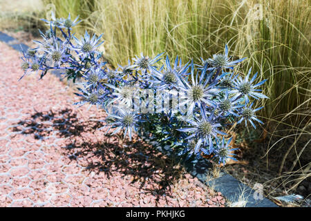 Flower bunch of thorny blue Sea holly (Eryngium planum) plant - Stock Photo