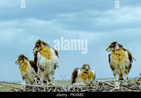 Juvenile ferruginous hawks (Buteo regalis) in nest in the Morley Nelson Snake River Birds of Prey National Conservation Area, Idaho - Stock Photo