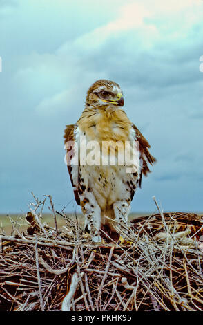 Juvenile ferruginous hawk (Buteo regalis) in nest in the Morley Nelson Snake River Birds of Prey National Conservation Area, Idaho - Stock Photo