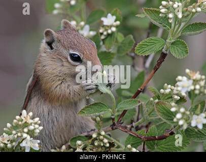 A Golden-mantled Ground Squirrel (Callospermophilus lateralis) feeding in a tree.  Shot in Estes Park, Colorado, USA. - Stock Photo