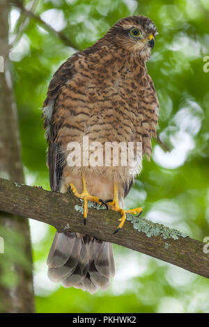 The Eurasian (or Northern) Sparrowhawk (Accipiter nisus); Sweden - Stock Photo