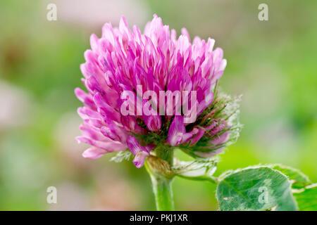 Red Clover (trifolium pratense), close up of back lit flower. - Stock Photo