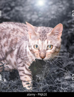 Beautiful male silver Bengal cat kitten portrait outdoors - Stock Photo