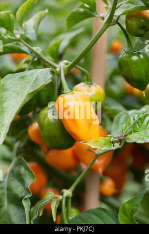 Capsicum annuum 'Orange Habanero'. Habanero Chilli pepper. - Stock Photo