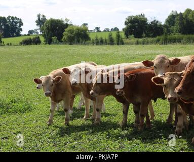 Charolais cattle in the meadow on a sunny afternoon